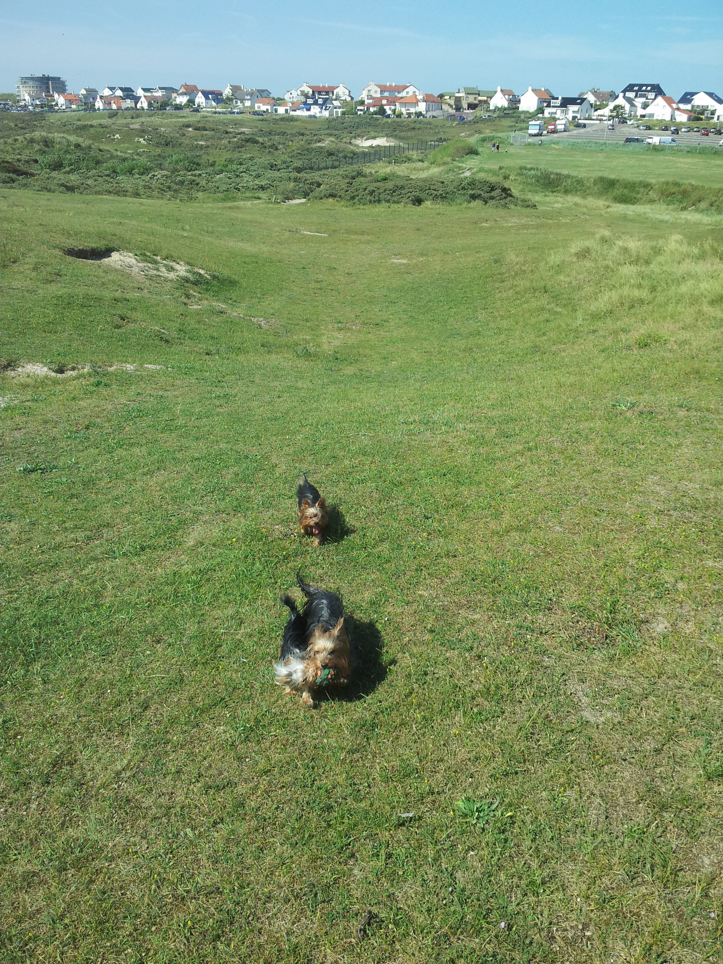 0412 Unsere Yorkies in den Dünen in Zandvoort - Der Yorkshire Terrier Blog