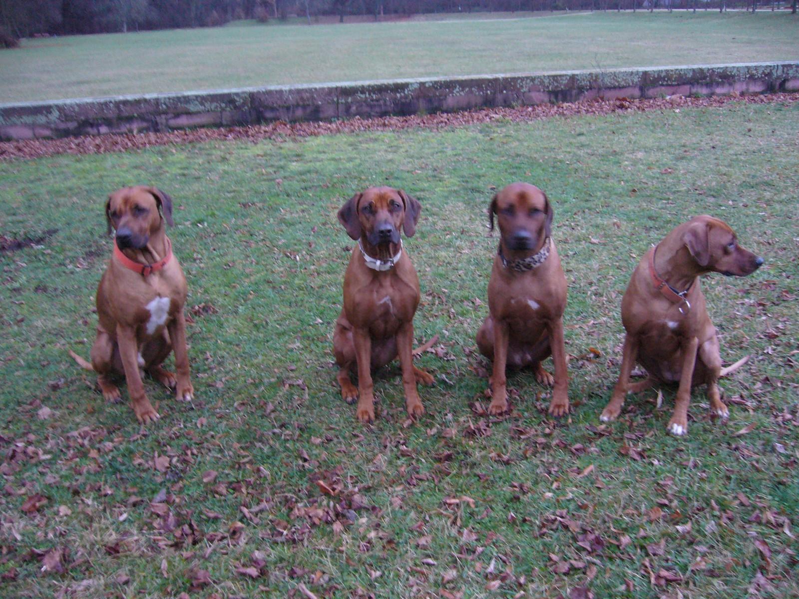 Die RR-Mantrailing-Truppe (von links nach rechts): Dayo, Enya, Athani und Suri