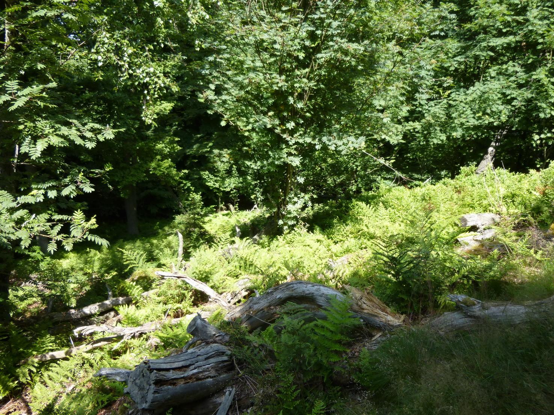 Totholz und umgestürzte Bäume sind im Sommer von grünen Farnen bedeckt