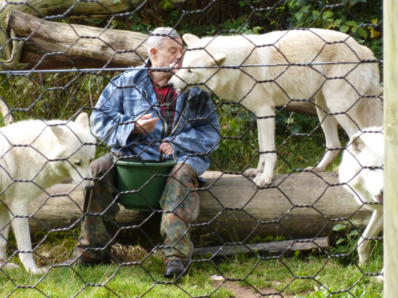 Zart nimmt der Polarwolf das Stück Fleisch auf