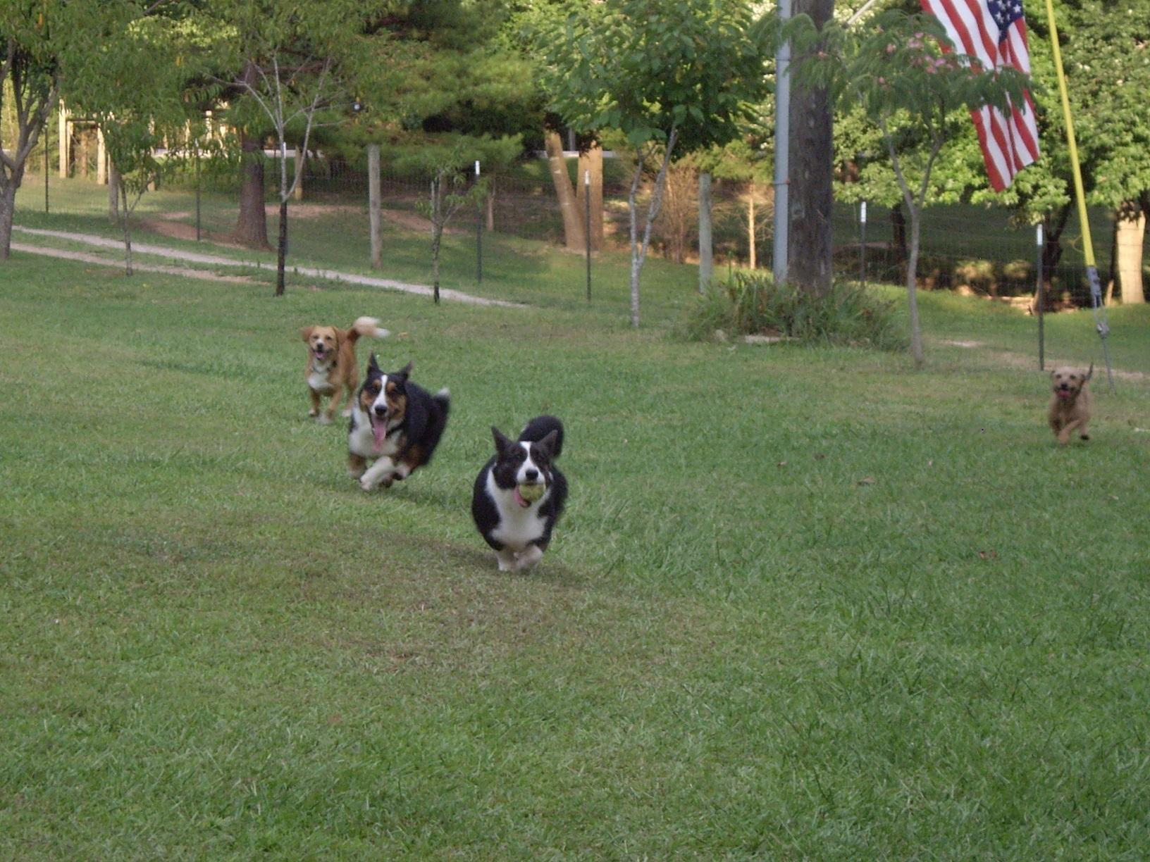 Rennen bis zum Umfallen mit den Corgi-Cousins ...