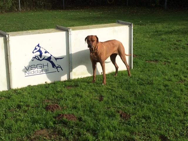 Suri auf dem Hundeplatz des VSGH Niddatal in Bönstadt, wo Dayo seine BH gemacht hat