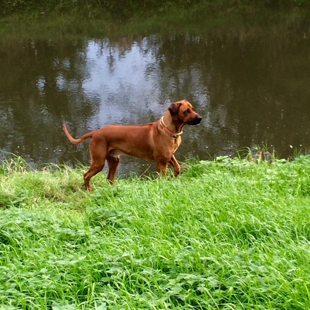 Dayo auf der Pirsch am Wasser ... hoffentlich hat er keine Bisamrattenfamilie gesichtet!