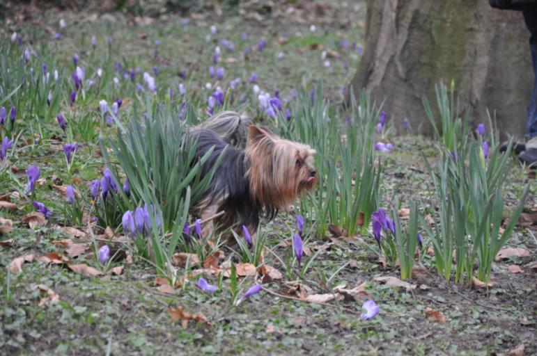 0412 Kimi schwer beschäftigt - Yorkshire Terrier Blog