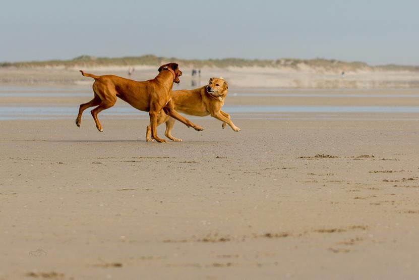 Hunde toben am Strand in der Bretagne