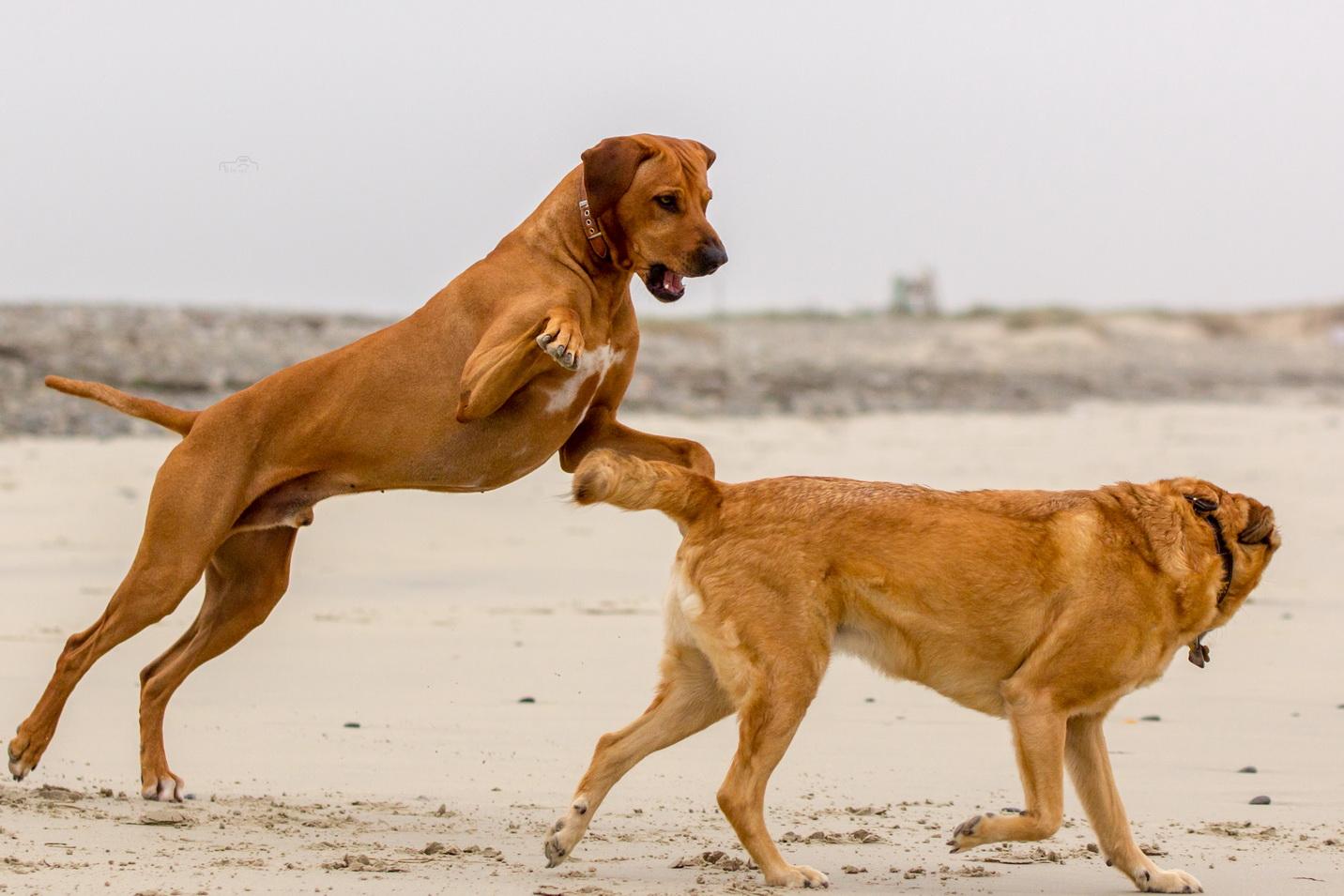 Hunde am Strand in der Bretagne