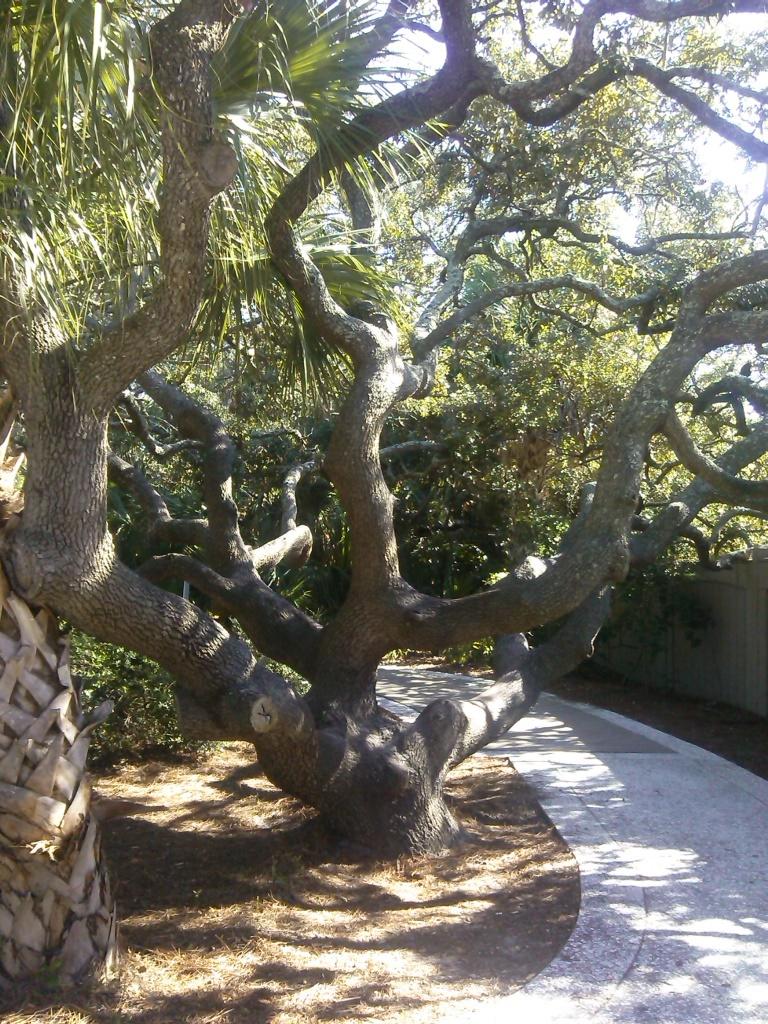 Der wohl meistfotografierteste Baum auf Hilton Head