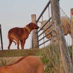 Dayo beschnuppert neugierig ein Texelschaf
