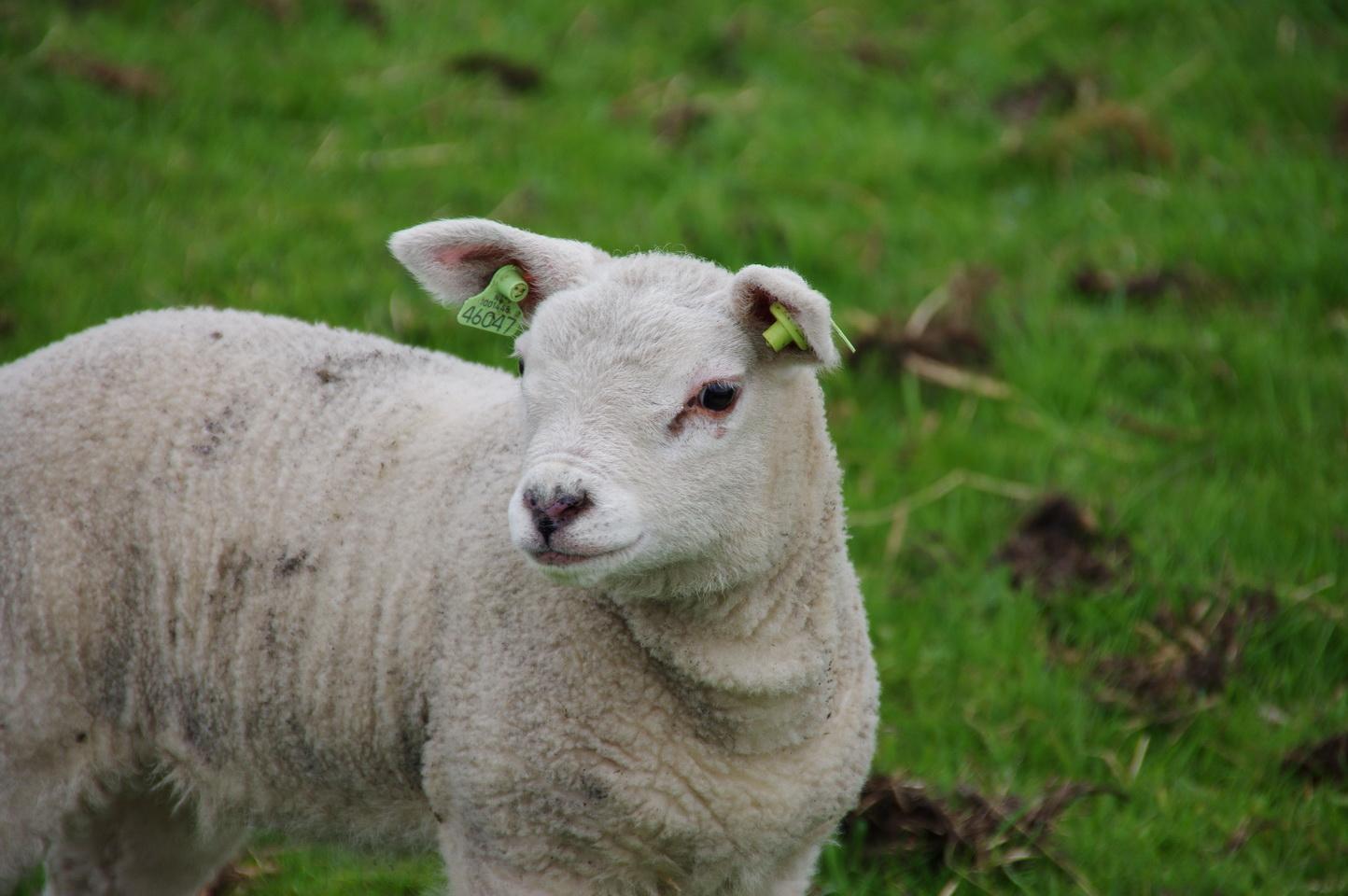 Texel - Schaf