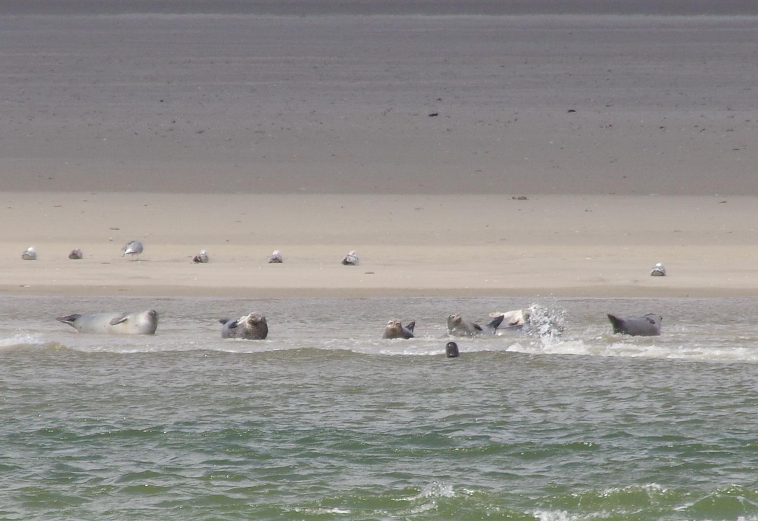 Texel - Schifffahrt Texel 44 TH Seehunde