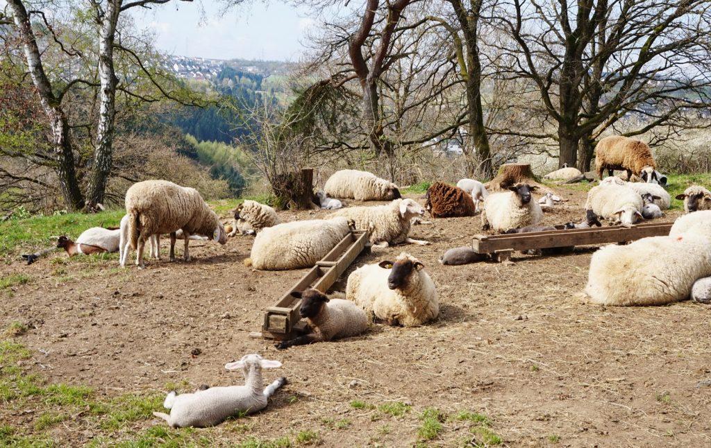 Schafe genießen mit ihren Lämmern die Sonne