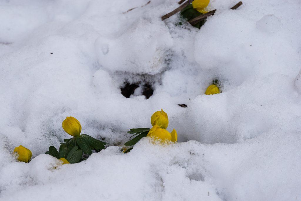 Erste Blüten kämpfen sich durch den Schnee