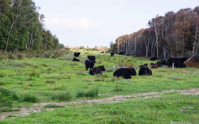 Galloway-Rinder in De Muy