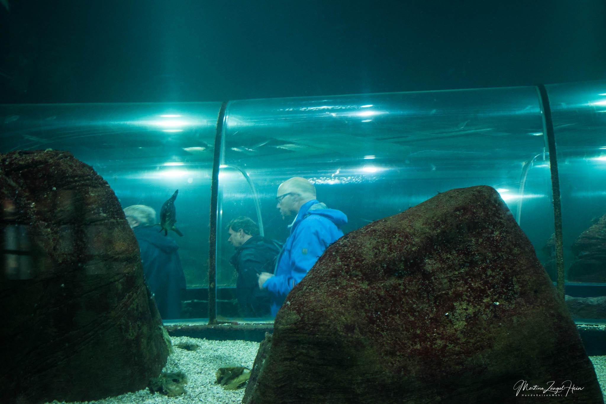 Der reizende Gemahl schiebt sich durch den gläsernen Tunnel im Aquarium