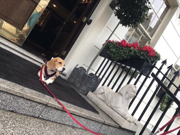 Piet - ein Beagle in London