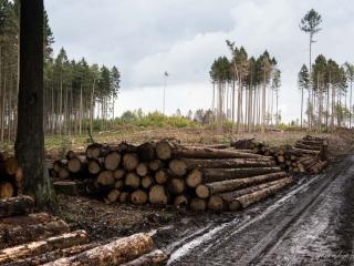 Überall liegt das Holz der Nadelbäume