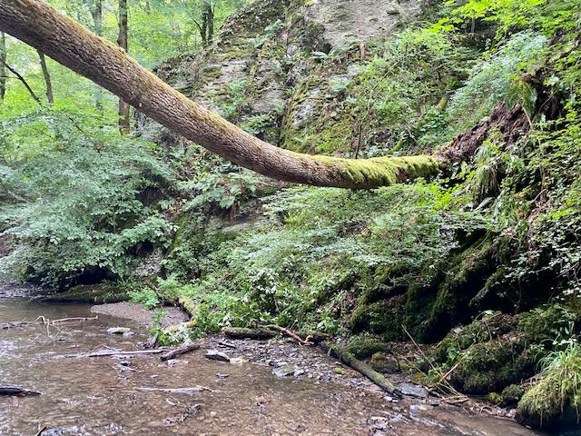 Umgestürzte Bäume über der Klamm