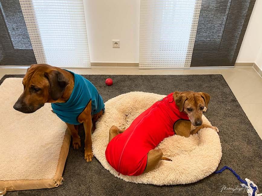 Suri fühlt sich in ihrem neuen Hundepullover wohl. Raban eher nicht.