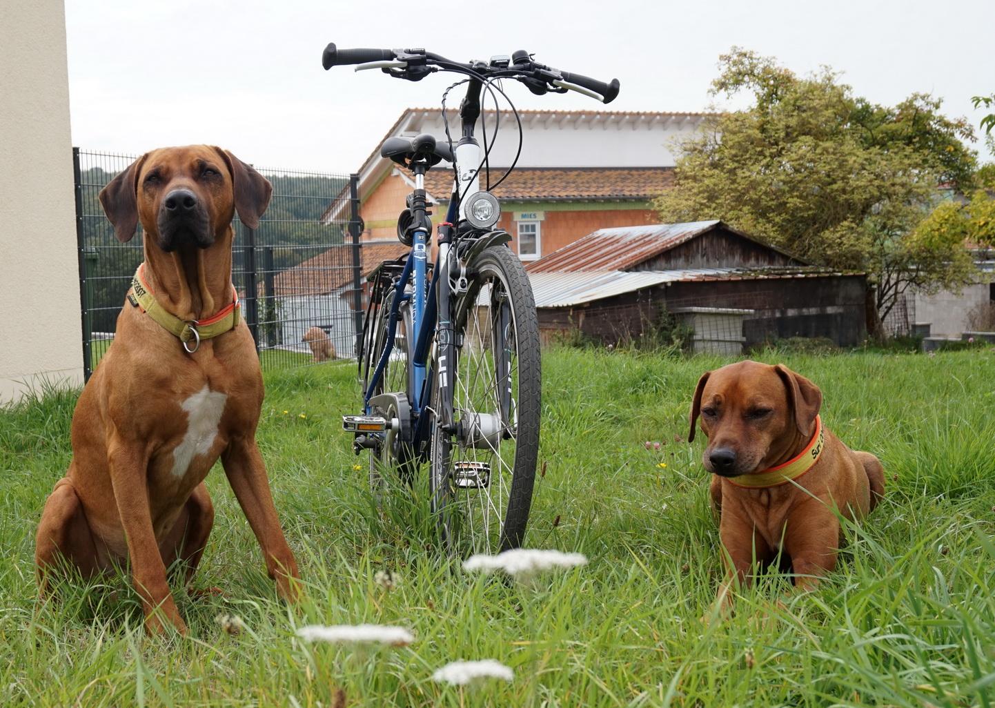 Dayo war nie ein Freund und Suri ist immer noch keine Freundin von Fahrradfahren mit Hund