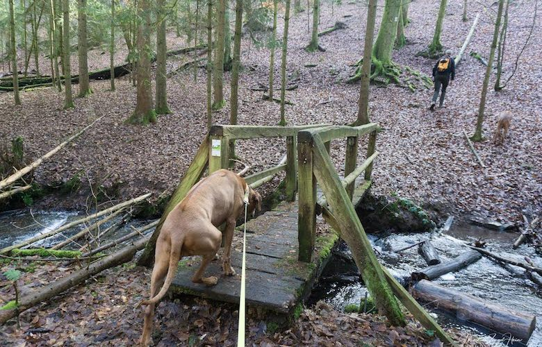 Mit Hund auf die Wäller Tour Buchfinkenland zu gehen, heißt auch Holzbrücken im Wald zu überqueren