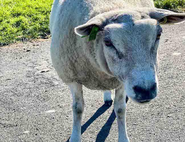 Natürlich fehlt es auch nicht an vielen Schafen, die auf und an den Deichen grasen